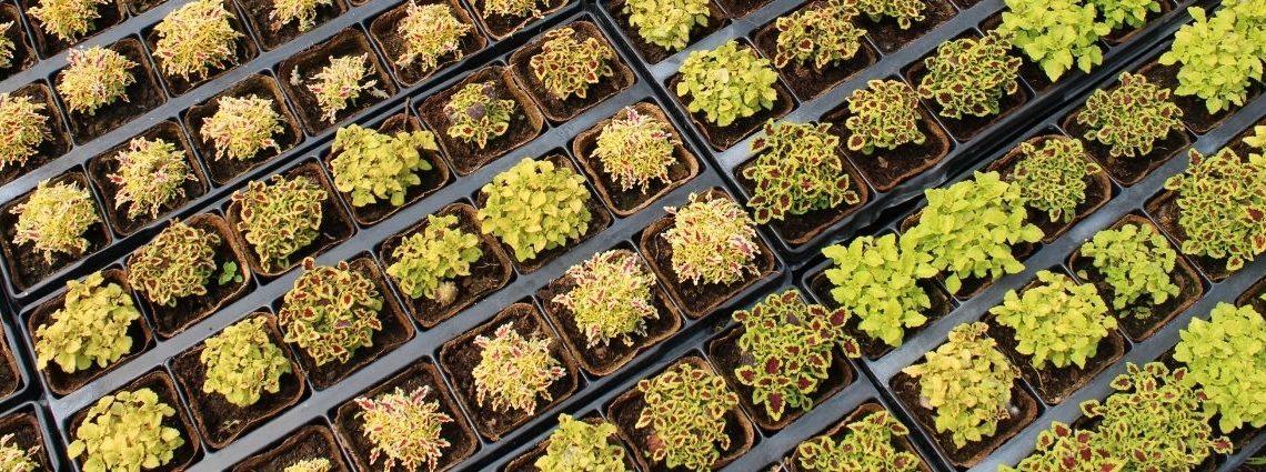 petites plantes en godet alignées