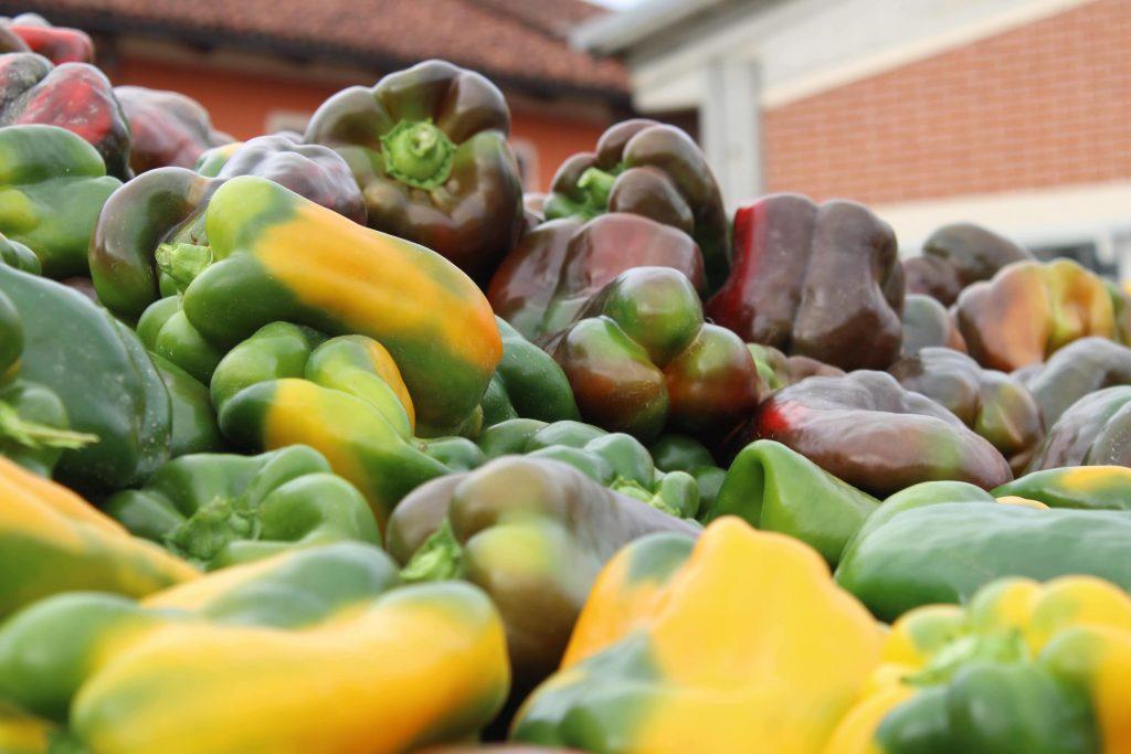 recolte de poivrons